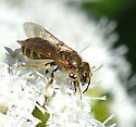 Confusing Metallic-furrow Bee  - Halictus confusus