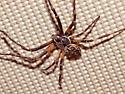 Wolf spider? - Larinioides sericatus