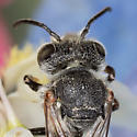 Leafcutter Cuckoo Bee - Coelioxys sayi - male