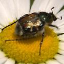Beetle - Trichiotinus affinis