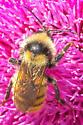 Bumblebee - Bombus appositus - male