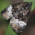 Moth, Annaphila cf casta - Annaphila diva
