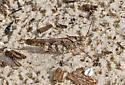 Grasshopper09292007_HS_2845 - Spharagemon cristatum
