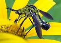 Bee Fly Lepidophera lutea - Lepidophora lutea