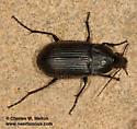 Carabid - Chlaenius tomentosus