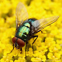 Green Fly - Lucilia illustris - male