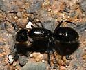 Formicidae - Camponotus laevigatus