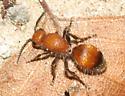 Velvet Ant - Dasymutilla
