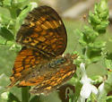 Pearl crescent with storm-damaged wings - Phyciodes tharos