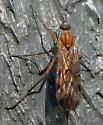 Wood Gnat - Sylvicola