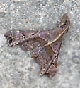 Unknown scallop-winged moth - Palthis asopialis