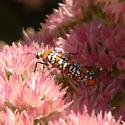 Many of these bugs on a sedum plant. - Atteva aurea