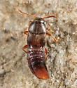 Rove Beetle - Thiasophila