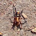 Black and red spider - Castianeira thalia