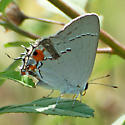 small bayside hairstreak - Strymon melinus - female