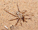 Small Dunes Spider - Syspira