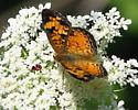 Butterfly on Queen Anne's Lace - Phyciodes tharos - male