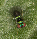 Very small parasitic wasp? - Chrysocharis
