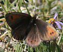 Colorado Alpine - Erebia callias