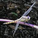 Dragonfly? - Libellula
