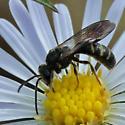 Slender Halictid Nectaring on Vining Aster - Lasioglossum fuscipenne - male