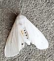 Spilosoma virginica (Virginian Tiger Moth) - Spilosoma virginica