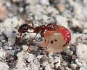 ant dragging food - Solenopsis invicta