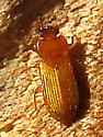Orange lacquer beetle - Adelina pallida