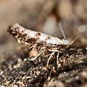 Arbovitae Leafminer Moth - Argyresthia thuiella