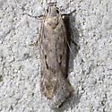 Filatima nigripectus