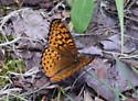 Crescent butterfly - Speyeria aphrodite
