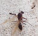 what kind of ant/wasp prey ? - Paratrechina longicornis