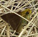 Hesperiidae - Euphyes vestris