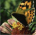 Butterfly on zinnia - Vanessa cardui