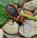 Scarlett-bordered Assassin Bug? - Rhiginia cruciata