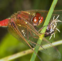 Is this a Flame Skimmer? - Sympetrum illotum - male
