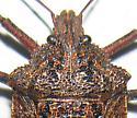 Rough Stink Bug? - Brochymena sulcata