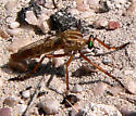 Hanging Thief? - Diogmites angustipennis