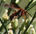 red wasp - Tachypompilus unicolor