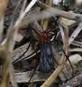 Red gnat - Planetella