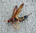 Pigeon Horntail - Tremex columba - female
