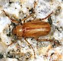 scarab - Coenonycha lurida