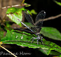 Ebony Jewelwing female - Calopteryx maculata - Calopteryx maculata - female