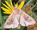 4395 Beige Moth - Nephelodes
