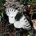 Parnassius smintheus - male