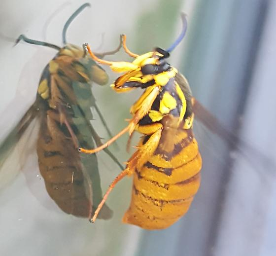 Possible oak clearwing moth - Paranthrene simulans