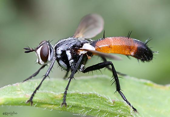 fly - Cylindromyia intermedia - male