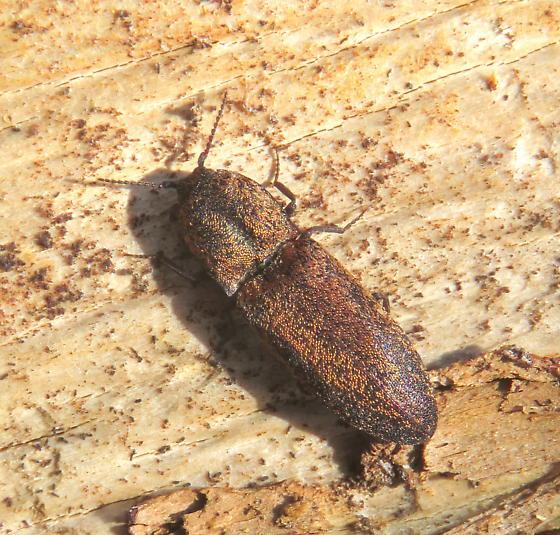 Click Beetle - Lacon