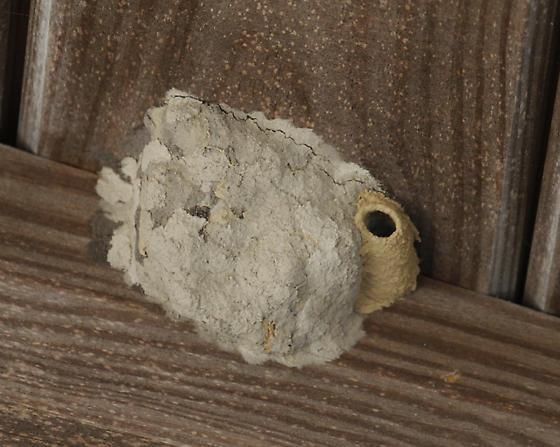 Hymenoptera - Sceliphron caementarium
