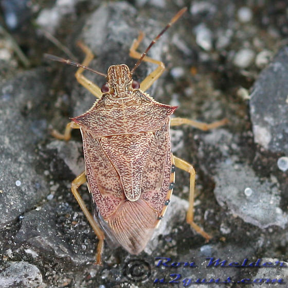 Stink Bug - Podisus maculiventris - male